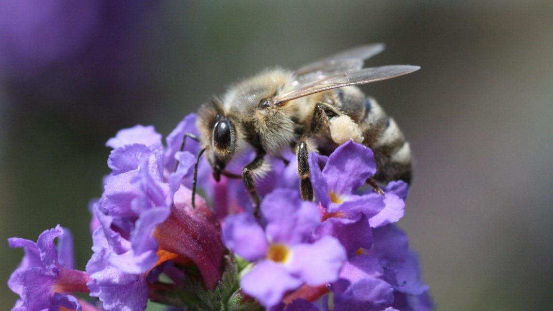 Wenn es nicht mehr summt und brummt Wildbienen in Gefahr.